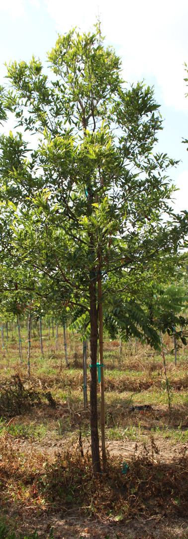 Sawtooth Oak(Quercus acutissima)