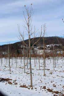 Green Mountain Suagar Maple