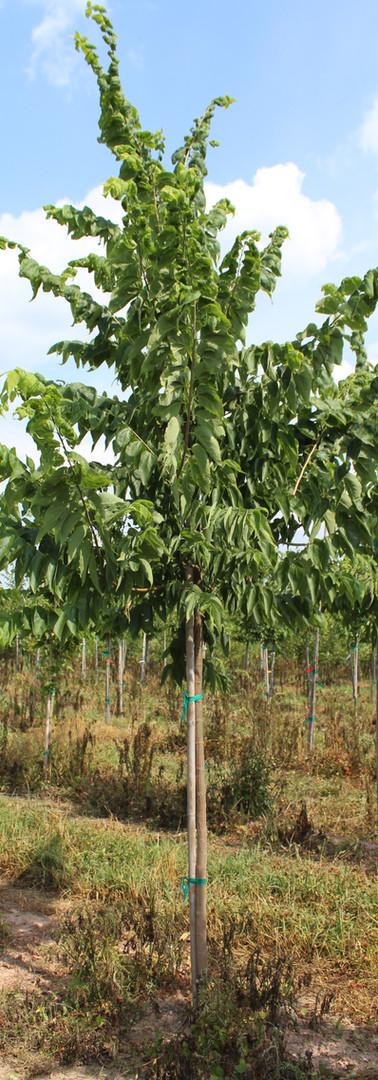 Hackberry(Celtis occidentalis)