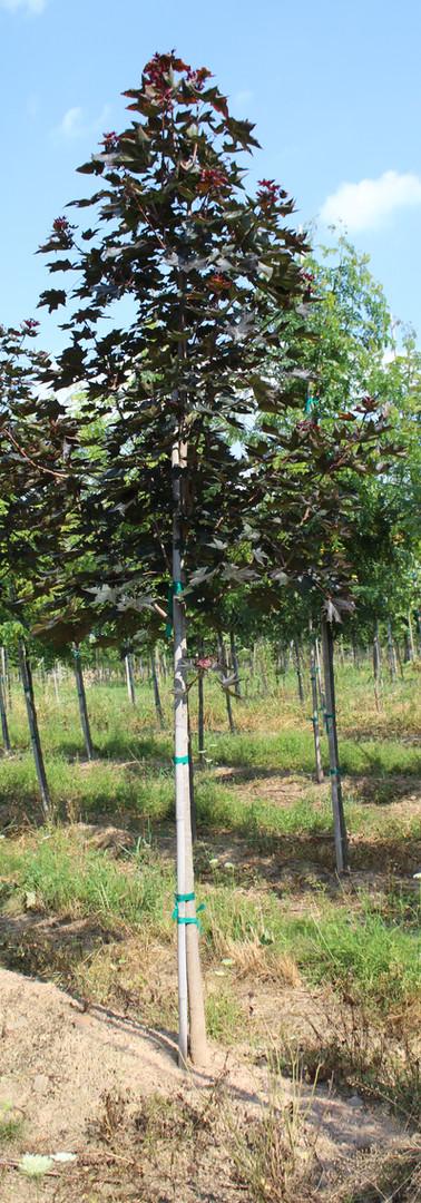 Crimson Sunset Maple(Acer truncatum x Acer platanoides)