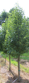 Starlite Crabapple(Malus x 'Jeflite' )