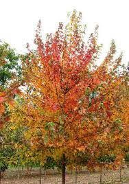 Fall Fiesta Maple.jpg