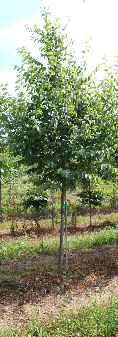 American Hophornbean(Ostrya virginiana)