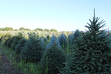 evergreen trees.JPG