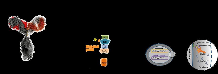 antibody engineering-2.png