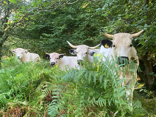 White Park Cattle in woodland