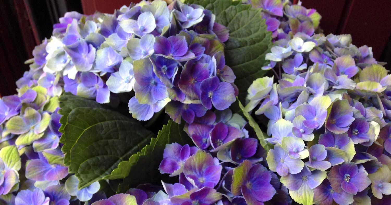 Hortensias violet