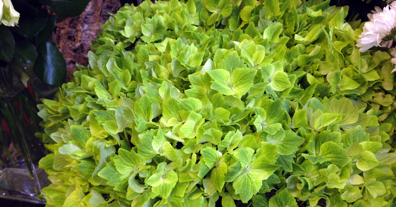 Hortensia vert très étonnant
