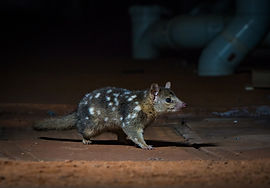 Endangered%20Northern%20quoll%20in%20a%2