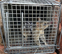 Quoll%20in%20cage_edited.jpg