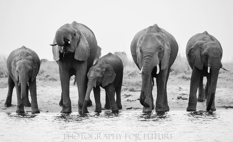 Thirsty Elephants