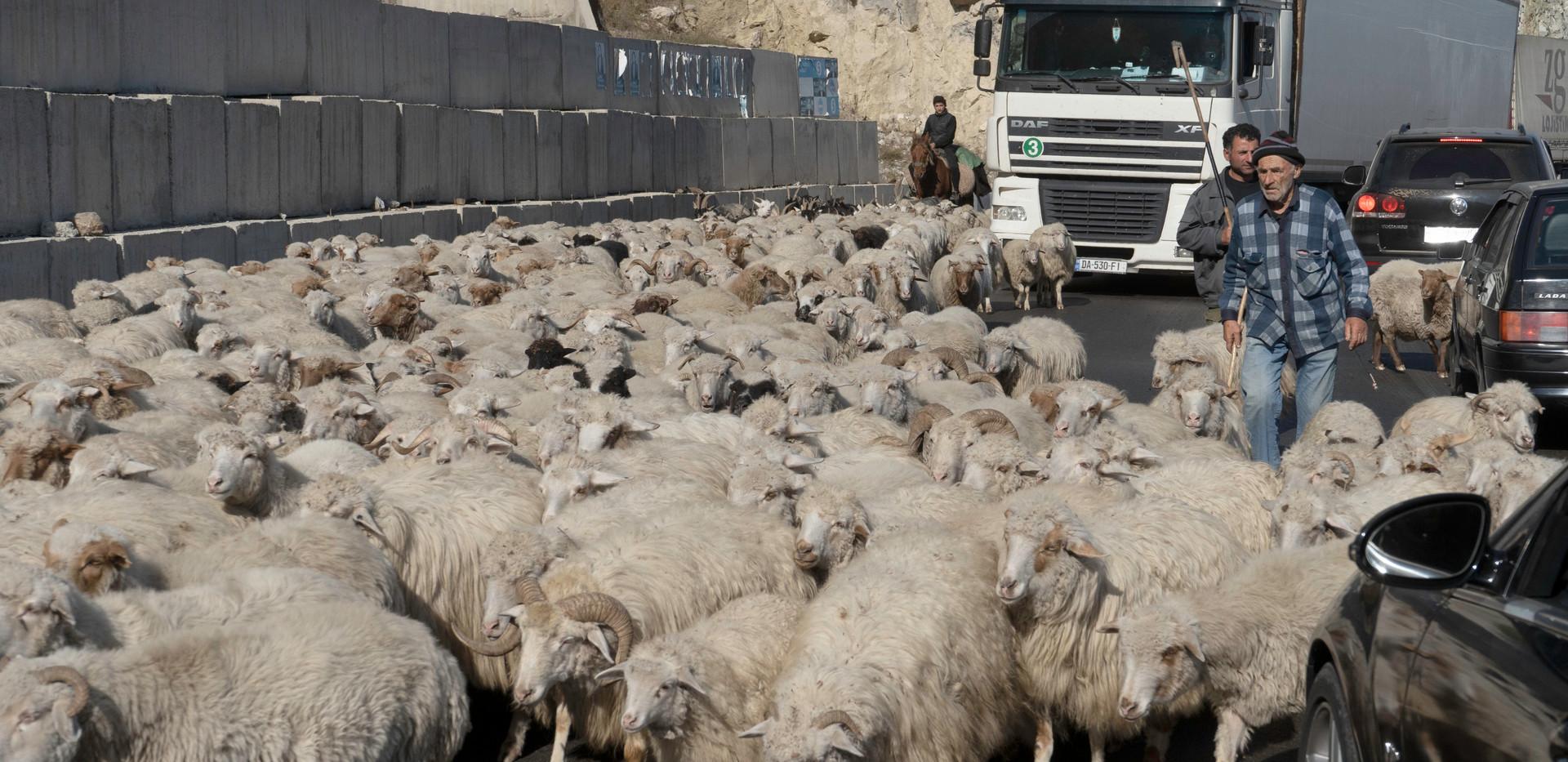 Mit tierischem Gegenverkehr ist auf der georgischen Heerstraße immer zu rechnen
