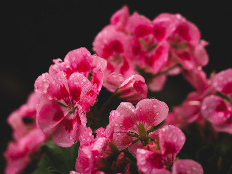 Geranium and why it's essential to Senss