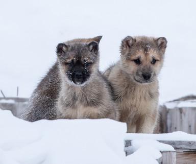 Sled Dog Pups Greenland Mar 2020