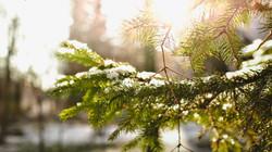 pinetree-1149932_1920