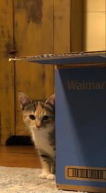 Maple peeking around Walmart box.jpg