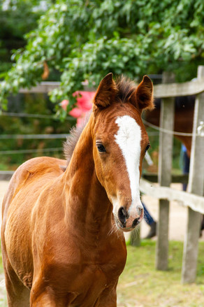 robert-hoffmann's photo of a chestnut foal