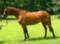 Delightful bay mare standing in field in