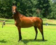 Bay mare standing in hand in field.jpg