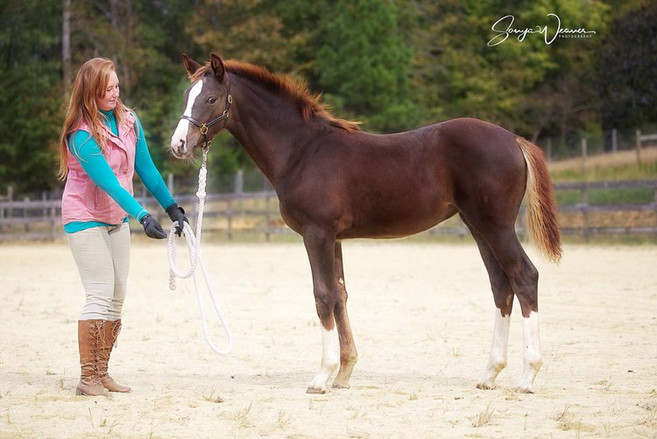 liver chestnut standing in hand with fem