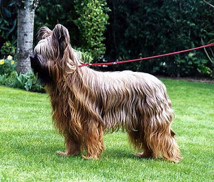 Briard de Lady fontaine la Belle