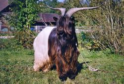 Walliser Schwarzhalsziegen 2004-2005 063.jpg