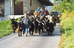 Walliser Schwarzhalsziegen 93-2001 030.jpg