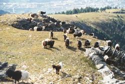 Walliser Schwarzhalsziegen 93-2001 025.jpg