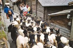 Walliser Schwarzhalsziegen 93-2001 013.jpg