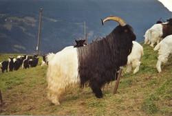 Walliser Schwarzhalsziegen 93-2001 006.jpg