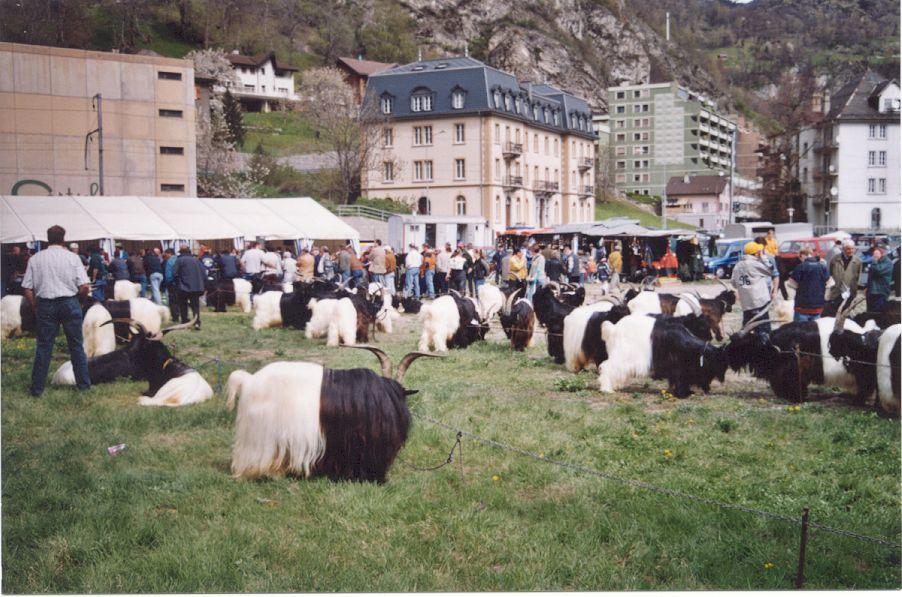 Walliser Schwarzhalsziegen 2001-2004 052.jpg