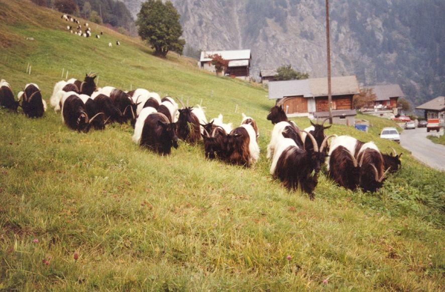 Walliser Schwarzhalsziegen 2001-2004 006.jpg