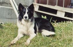 Walliser Schwarzhalsziegen 93-2001 057.jpg