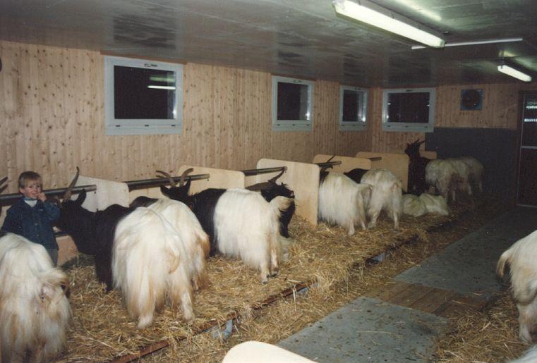 Walliser Schwarzhalsziegen 93-2001 042.jpg