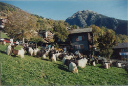Walliser Schwarzhalsziegen 93-2001 040.jpg
