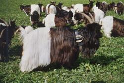 Walliser Schwarzhalsziegen 93-2001 066.jpg
