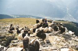 Walliser Schwarzhalsziegen 93-2001 026.jpg