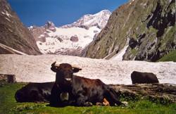 Walliser Schwarzhalsziegen 2004-2005 002.jpg