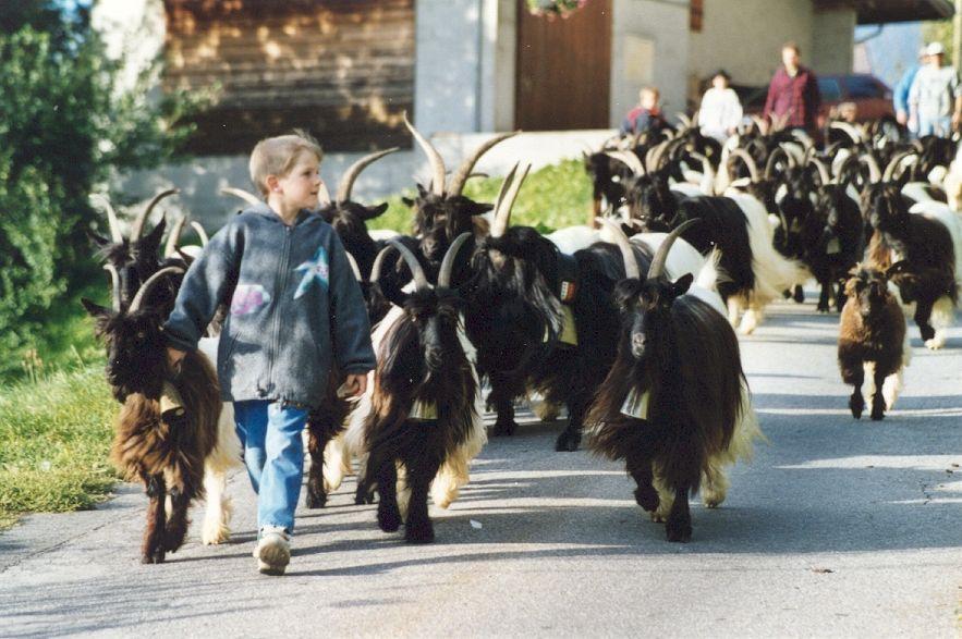Walliser Schwarzhalsziegen 93-2001 031.jpg
