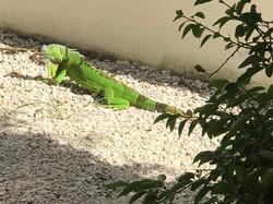 Mr. green iguana