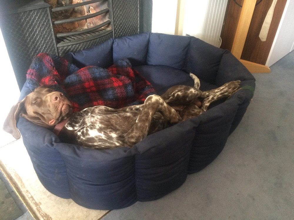 sleeping german shorthaired pointer
