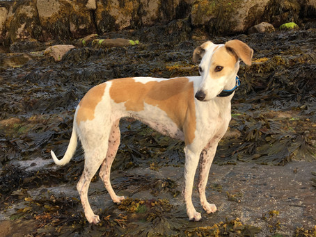 Profile: Lurcher