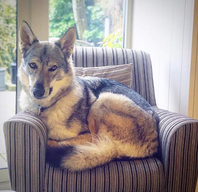 Wolfdog in chair