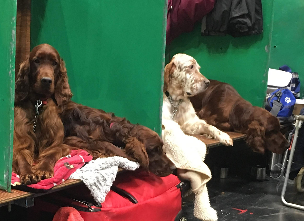 Red Setters Crufts