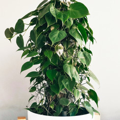 CREEPER   PHILODENDRON
