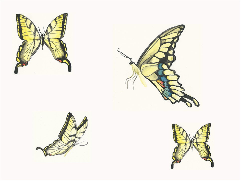 Pipevine Swallowtail Study