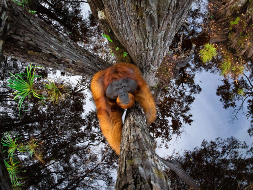 """""""Orangutan"""" 2021 Yılının Fotoğrafçısı Ödülünü Kazandırdı"""