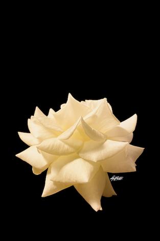 Photo: Rosa Bianca X20