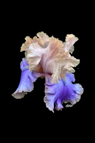 Photo: Beared Iris X20