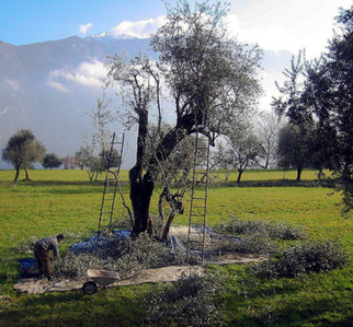 November/ December is olive picking season.